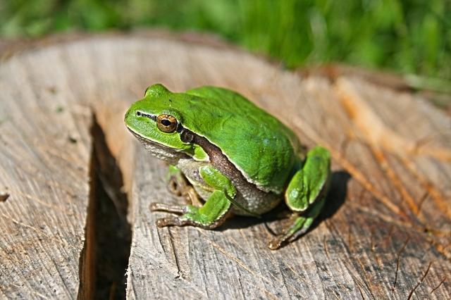 animal-green-frog